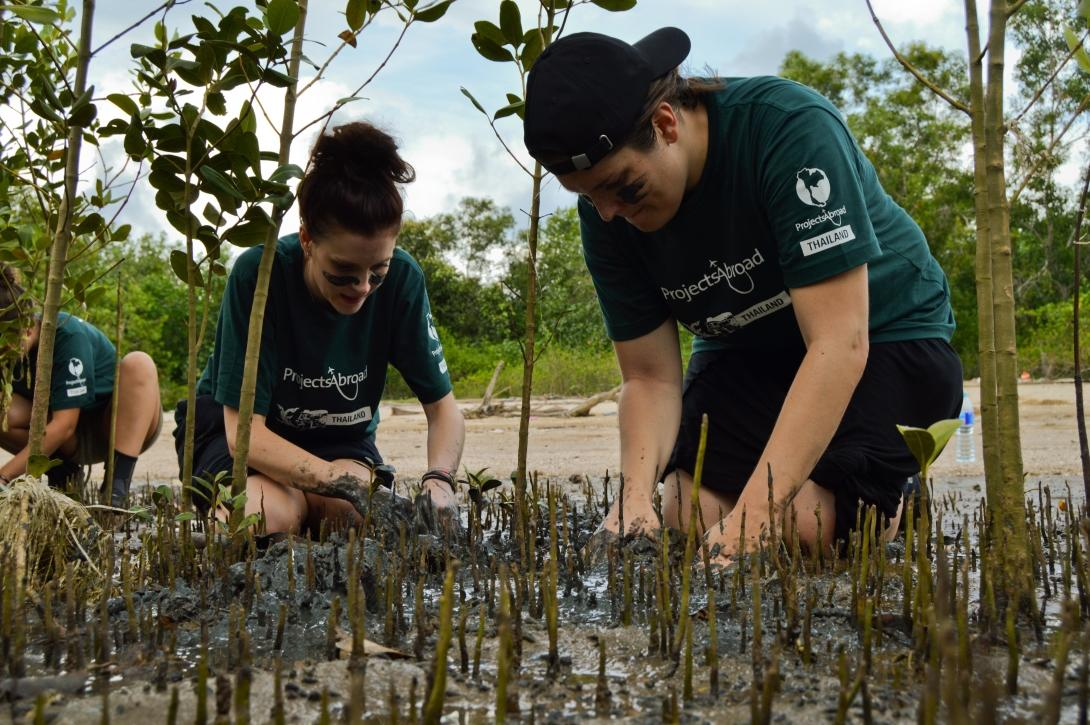 Conservation volunteers carefully dig up mangrove roots to plant them further apart from one another